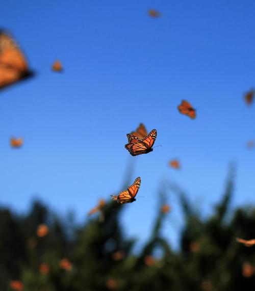 Releasing monarch butterflies
