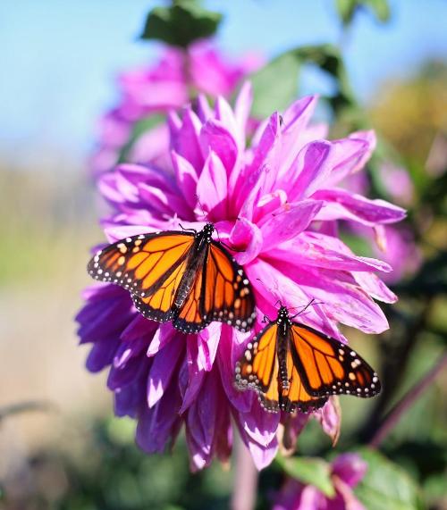 2 Monarchs on pink flower