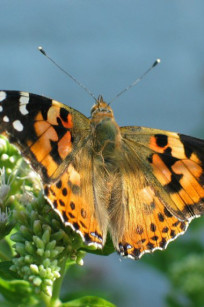 Flying painted lady butterfly