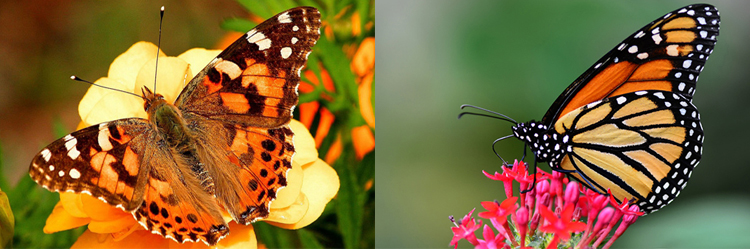 both painted lady and monarch