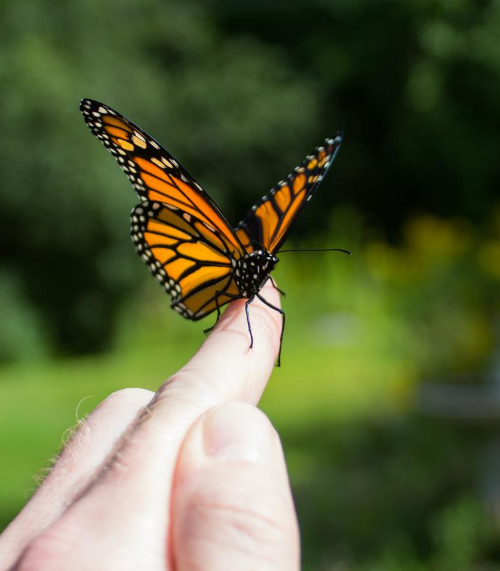Holding a monarch butterfly before releasing to sky